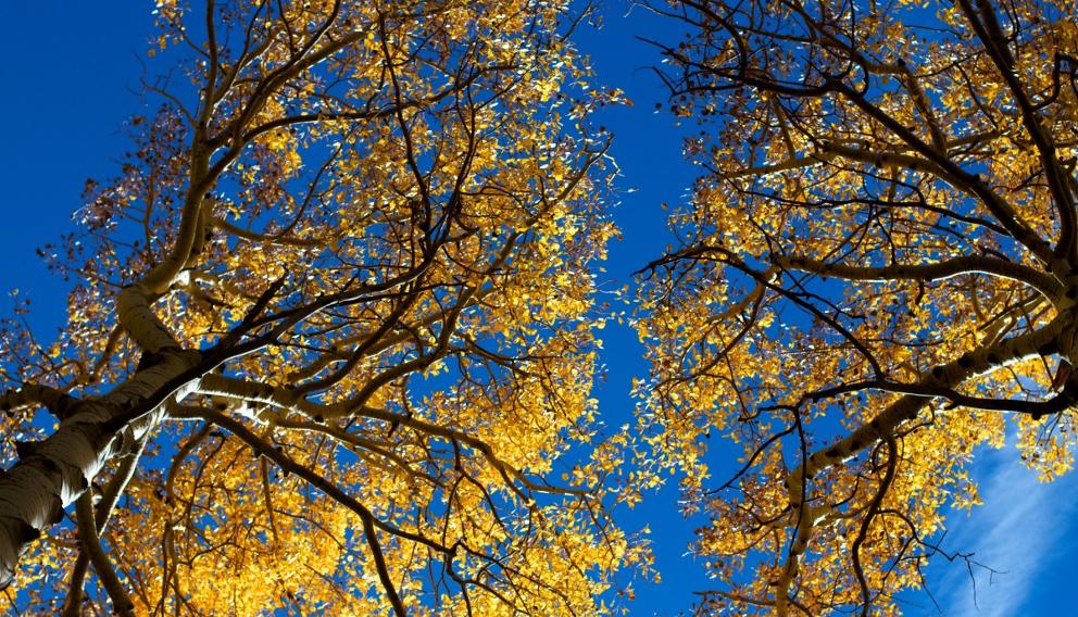 aspen_trees_3